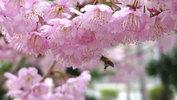 日赤前の椿寒桜