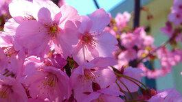 平成23年3月 南加記念ホール東側の桜