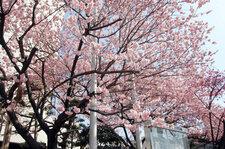 2012年3月21日 日赤の桜 満開