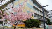 桜(教育学部1号館前)