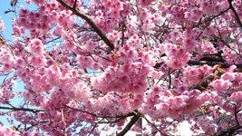 椿寒桜(松山赤十字病院前)