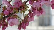 南加記念ホール横の桜2