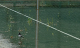 雨が溜まったテニスコートに鳥