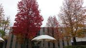 校友会館前の葉が真っ赤に
