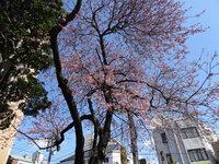 松山城 東雲登城道入口の椿寒桜
