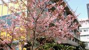 教育学部本館前の桜