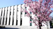 校友会館南側(南加記念ホール横)の桜
