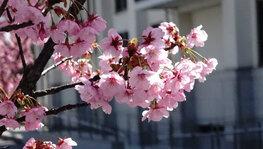 南加記念ホール横(校友会館南)の桜-2