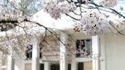 南加記念ホールの桜(4/2)