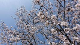 桜-最後の晴れ間?(4/2)