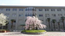 総合研究棟2前のしだれ桜(4/2)
