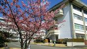 教育学部本館横の寒桜