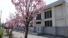 南加記念ホール東側の桜3/23