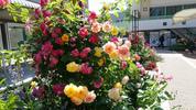 グリーンホール前の薔薇