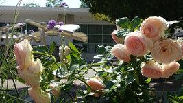 グリーンホール前の薔薇2