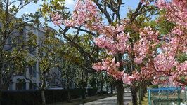 教育学部本館前の寒桜2