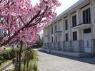 南加記念ホール横の桜