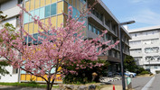 教育学部本館前 早咲き桜