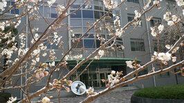 総合研究棟2前の早咲き桜