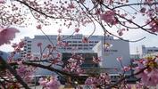 医学部附属病院前-桜