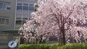 総合研究棟2前の枝垂れ桜(3/28)