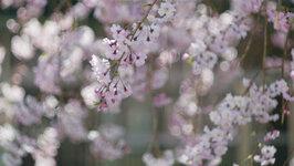 総合研究棟2前の枝垂れ桜2(3/28)