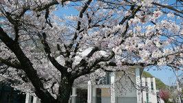 正門横の桜 (3/28)