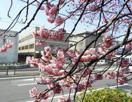 赤十字病院前 寒桜(社会連携を臨む)