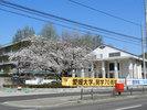 大学正門横の桜