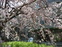 総合研究棟2前の枝垂れ桜