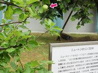 ミューズ中庭「ニュートンのリンゴの木」