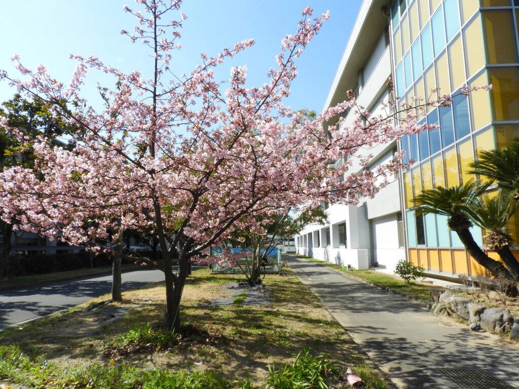 教育学部本館前 緋寒桜 咲きだしました