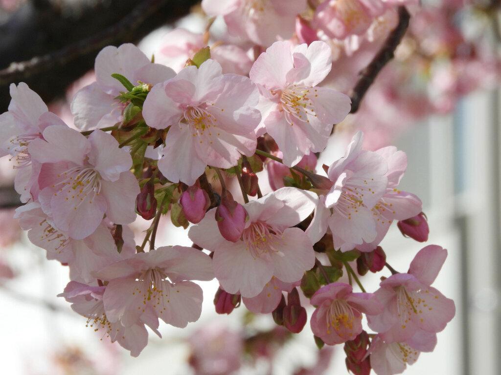 教育学部本館前 緋寒桜