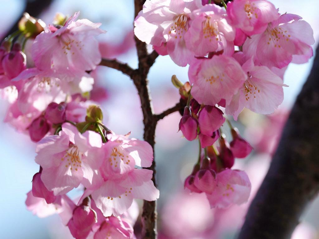 校友会館横の寒緋桜 今年は早いですね